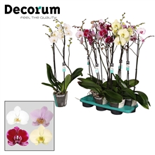 Phalaenopsis 2 tak mix SPECIALTY Decorum