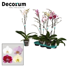Phalaenopsis 1 tak vertakt Decorum RUSSIA
