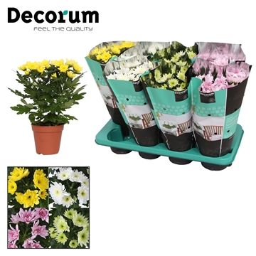 Chrysanthemum Chrysanne® 'Zembla Spray' mix Russia Decorum