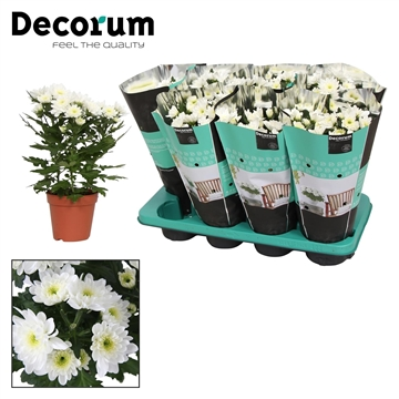 Chrysanthemum Chrysanne® 'Zembla Spray' White Decorum