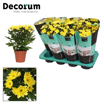 Chrysanthemum Chrysanne® 'Zembla Spray' Yellow Decorum