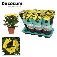 Chrysanthemum Chrysanne® 'Zembla Spray' Yellow Decorum