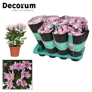 mum Chrysanne® 'Zembla Spray' Pink Decorum