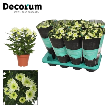 Chrysanthemum Chrysanne® 'Zembla Spray' Lime Decorum