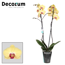 Phalaenopsis 2-Tak Goldion 60 cm R2-3