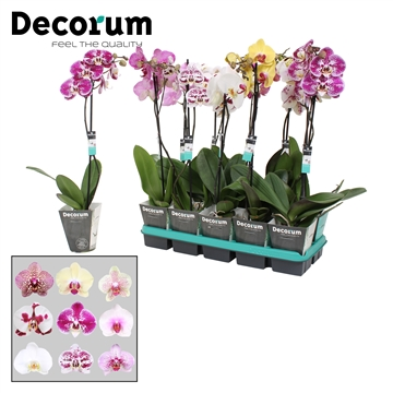 Phalaenopsis 1-tak decorum mix 60cm R2-3