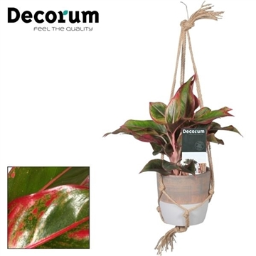 Aglaonema Crete in Macrame hanger (Decorum)