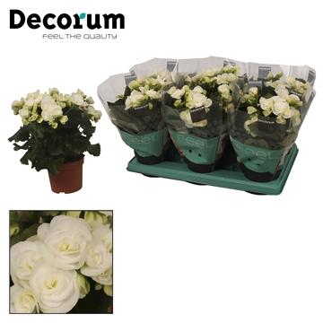 Begonia ''clara white'' wit  13cm