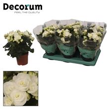 Begonia ''clara white'' wit