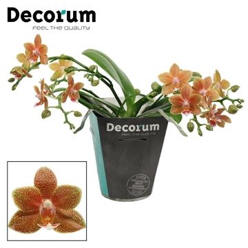 Phalaenopsis Table Masterpiece 4+ tak (Decorum)