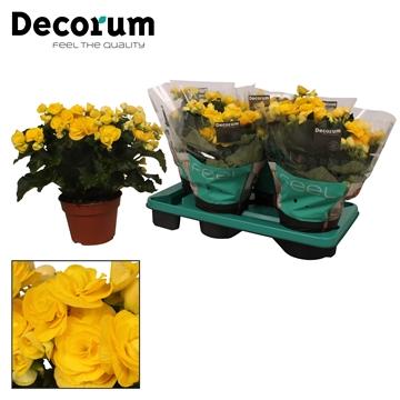 Begonia ''rebecca'' geel