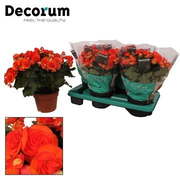 Begonia ''reina'' oranje