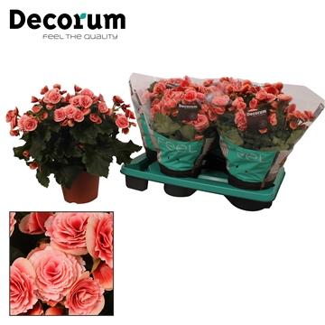 Begonia ''borias''  rose gevlamd