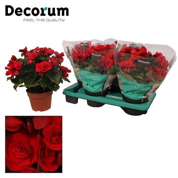 Begonia ''baladin'' rood