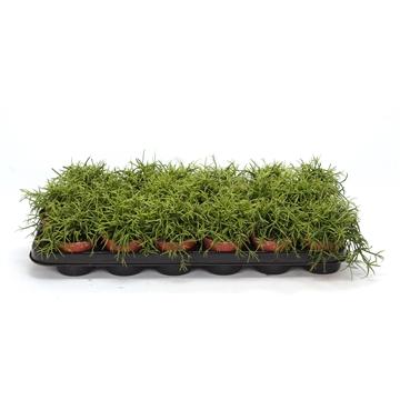 Rhipsalis Cassuta 8,5 cm