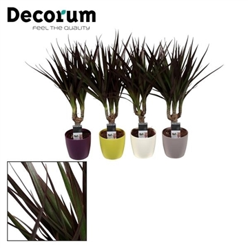 Dracaena Magenta stam in Sara pot (Decorum)