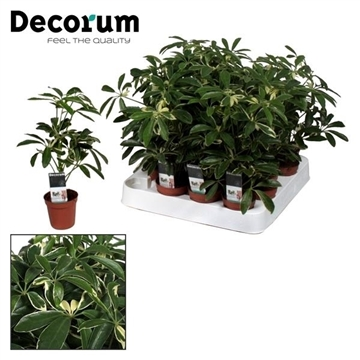 Tiny Steffy Schefflera Moondrop (Decorum)
