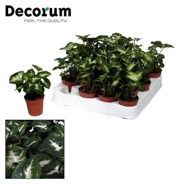 Tiny Carly (Syngonium White Butterfly) (Decorum)