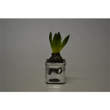 Hyacinthus in vierkant glas zilver