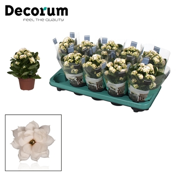 Kalanchoë Decorum -  Serenity Silk