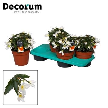 Begonia Beauvilia white