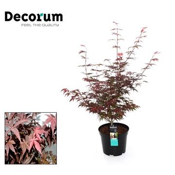Acer Atropurpureum Decorum C7,5