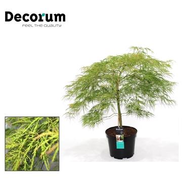 Acer Dissectum Decorum C7,5