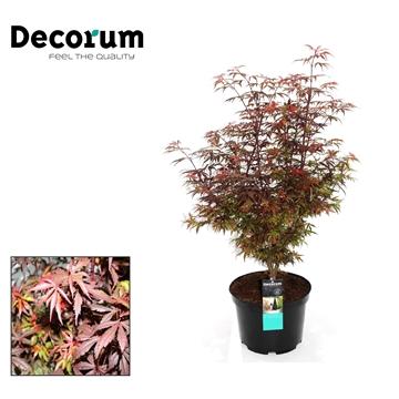 Acer Shaina Decorum C7,5