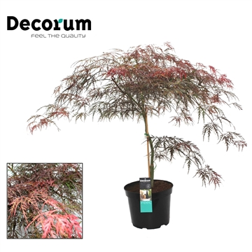 Acer Garnet Decorum C7,5