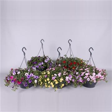 Mini petunia 3 soorten in hangpot