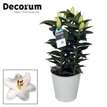 Lilium Souvenir White 17cm Zink