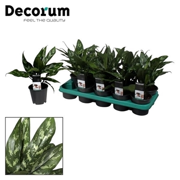 Aglaonema Maria (Decorum)
