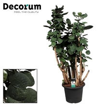 Polyscias Fabian vertakt in decopot 130-140 cm (Decorum)