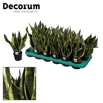 Sansevieria Futura Superba 3 PP (Decorum)