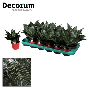 Sansevieria Green Hahni (Decorum)