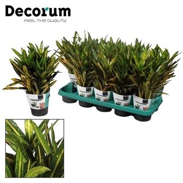 Croton Sunny Star kopstek 3-5 pp (Decorum)