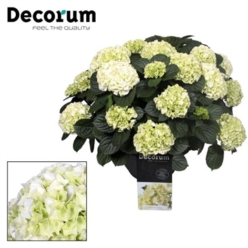 Hydrangea White in sierpot 20+ kop (Decorum)