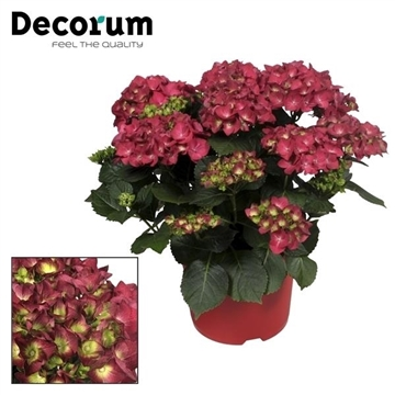 Hydrangea Red 10 - 15 kop in gekleurde sierpot (Decorum)