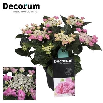 Hydrangea Teller Nizza Pink 7 - 12 kop (Decorum)