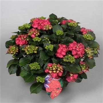 Hydrangea Red in sierpot 20+ kop