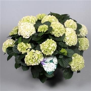 Hydrangea White in sierpot 20+ kop
