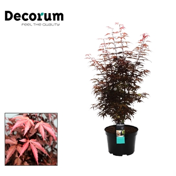 Acer Skeeters Broom Decorum C7,5