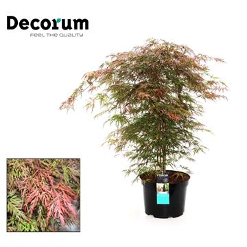 Acer Orangeole Decorum C7,5