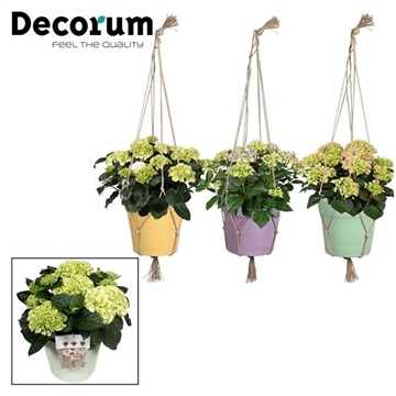 Hydrangea Bol 10 - 15 kop in Macrame hanger incl. waterreservoir (Decorum)