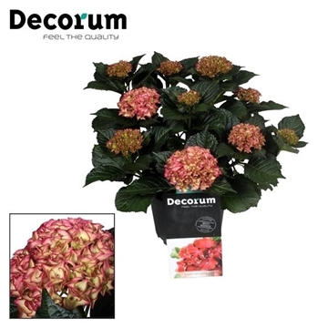 Hydrangea Red Angel (Decorum)
