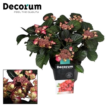 Hydrangea Teller Dark Angel (Decorum)