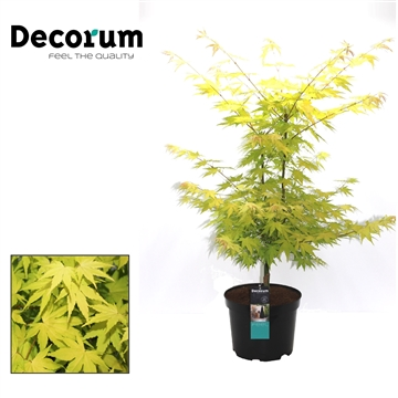 Acer Orange Dream Decorum C7,5