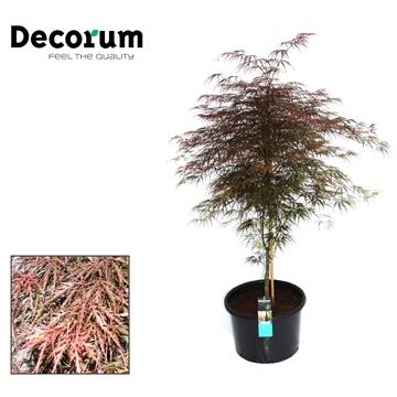 Acer Garnet Decorum C20