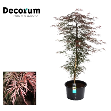Acer Firecracker Decorum C20