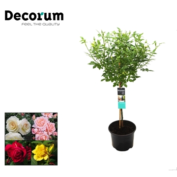 Stamroos 40cm Mix Decorum P19